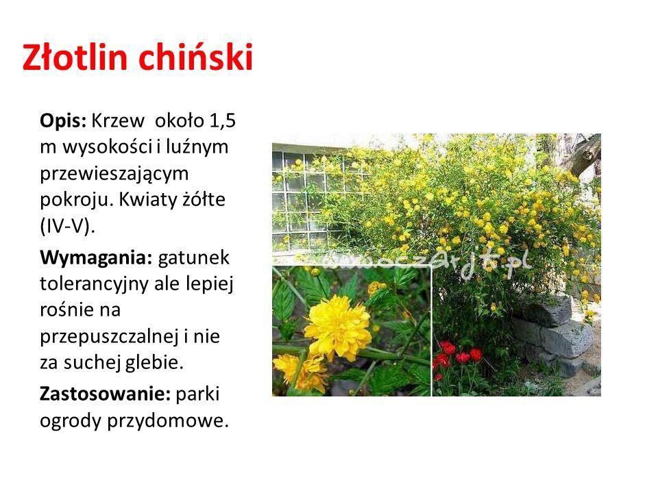 Złotlin chiński Opis: Krzew około 1,5 m wysokości i luźnym przewieszającym pokroju. Kwiaty żółte (IV-V).