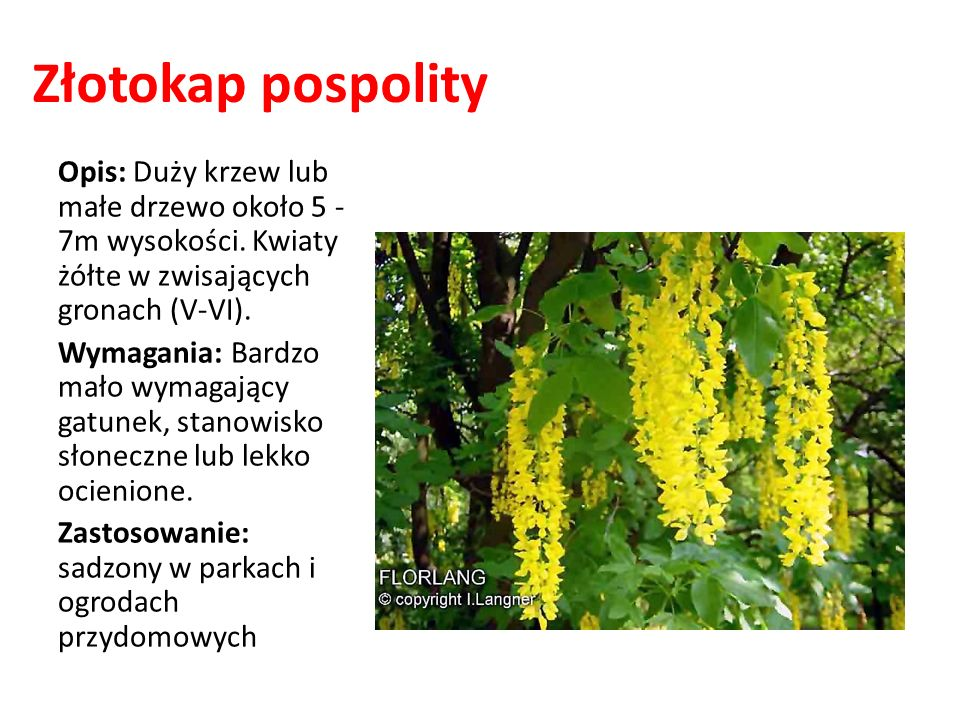 Złotokap pospolity Opis: Duży krzew lub małe drzewo około 5 -7m wysokości. Kwiaty żółte w zwisających gronach (V-VI).
