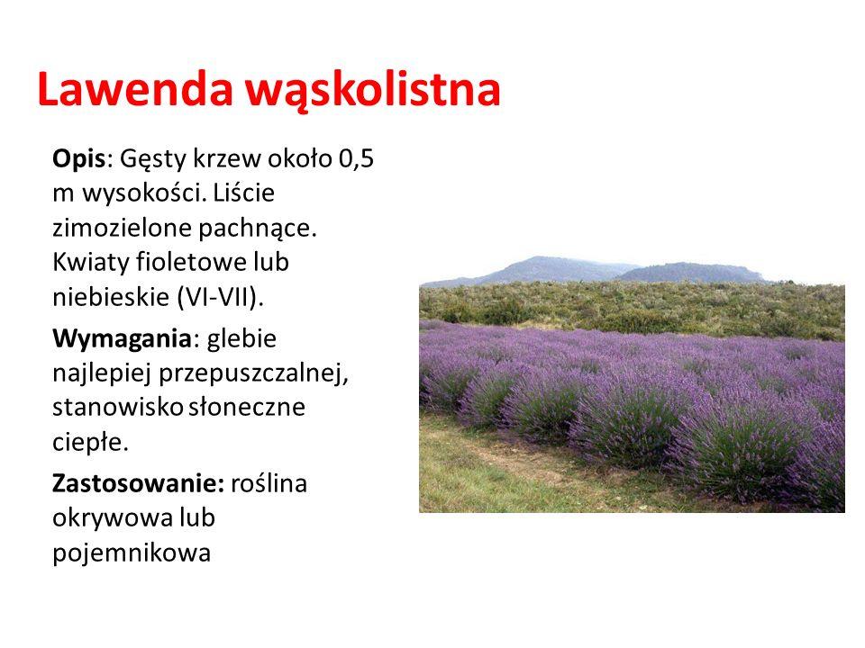 Lawenda wąskolistna Opis: Gęsty krzew około 0,5 m wysokości. Liście zimozielone pachnące. Kwiaty fioletowe lub niebieskie (VI-VII).