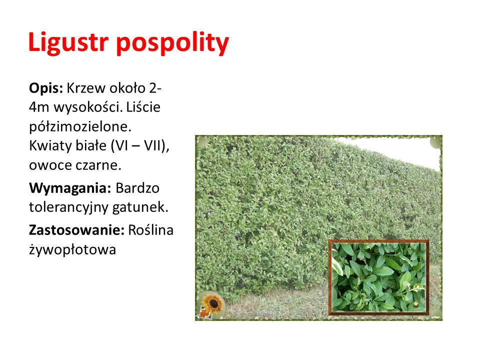 Ligustr pospolity Opis: Krzew około 2- 4m wysokości. Liście półzimozielone. Kwiaty białe (VI – VII), owoce czarne.