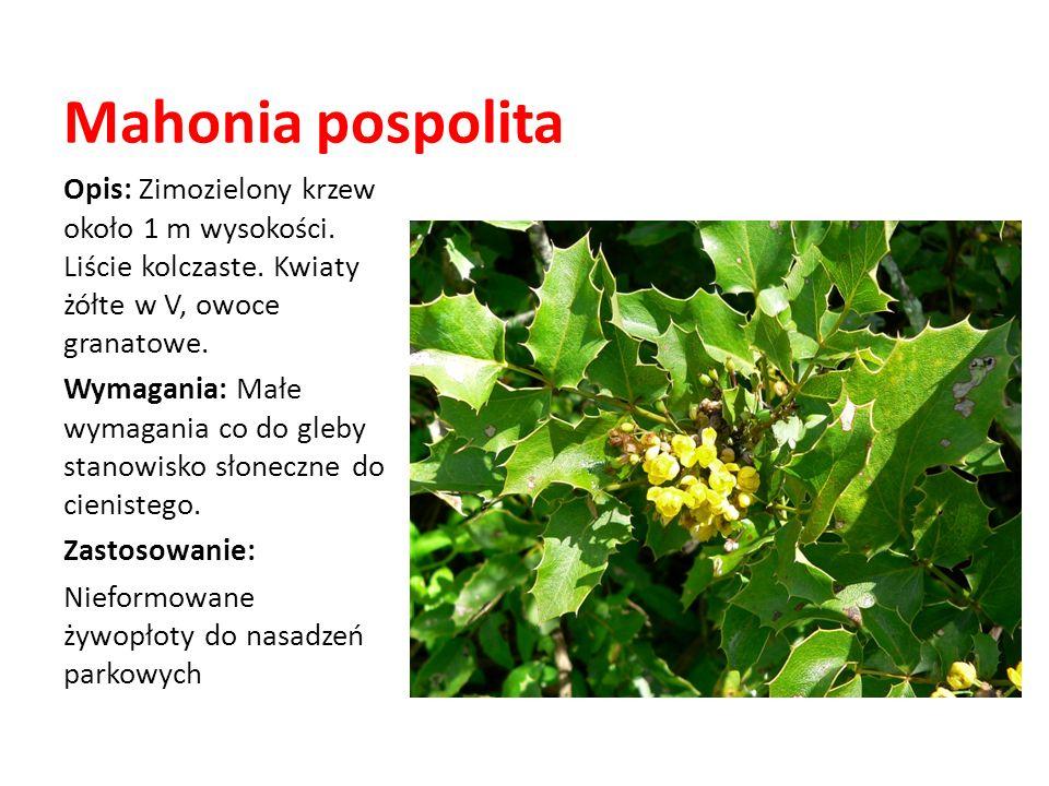 Mahonia pospolita Opis: Zimozielony krzew około 1 m wysokości. Liście kolczaste. Kwiaty żółte w V, owoce granatowe.