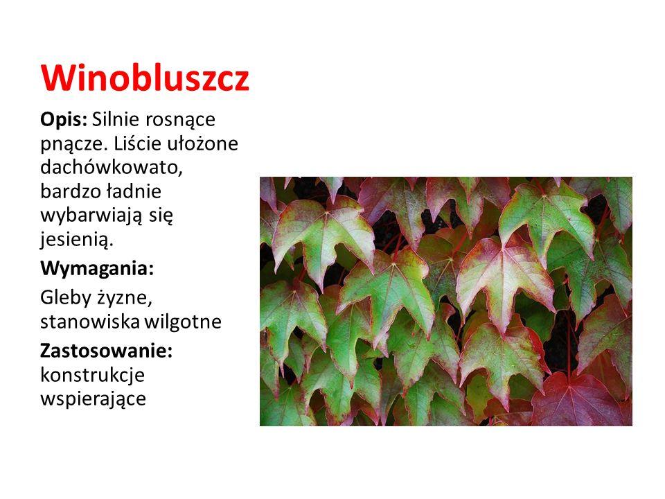 Winobluszcz Opis: Silnie rosnące pnącze. Liście ułożone dachówkowato, bardzo ładnie wybarwiają się jesienią.