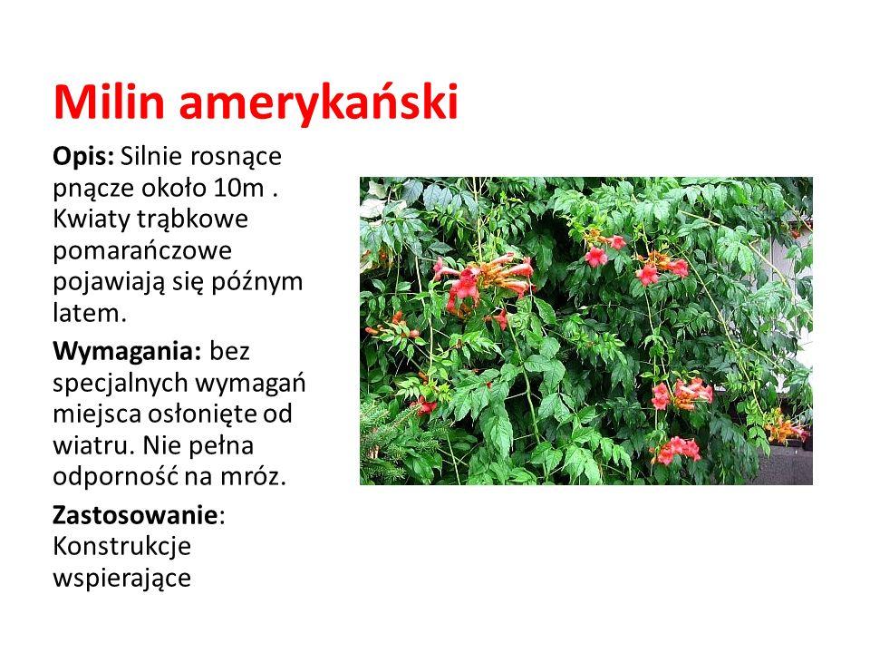 Milin amerykańskiOpis: Silnie rosnące pnącze około 10m . Kwiaty trąbkowe pomarańczowe pojawiają się późnym latem.