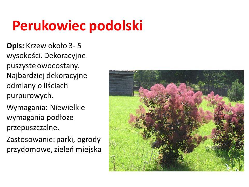 Perukowiec podolskiOpis: Krzew około 3- 5 wysokości. Dekoracyjne puszyste owocostany. Najbardziej dekoracyjne odmiany o liściach purpurowych.