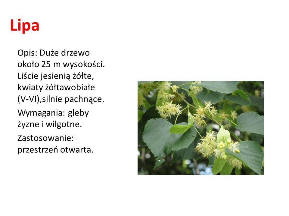 Lipa Opis: Duże drzewo około 25 m wysokości. Liście jesienią żółte, kwiaty żółtawobiałe (V-VI),silnie pachnące.