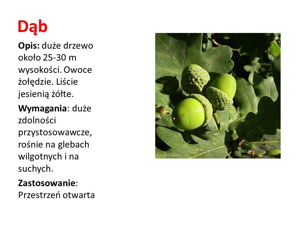 Dąb Opis: duże drzewo około 25-30 m wysokości. Owoce żołędzie. Liście jesienią żółte.