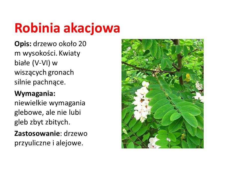 Robinia akacjowaOpis: drzewo około 20 m wysokości. Kwiaty białe (V-VI) w wiszących gronach silnie pachnące.