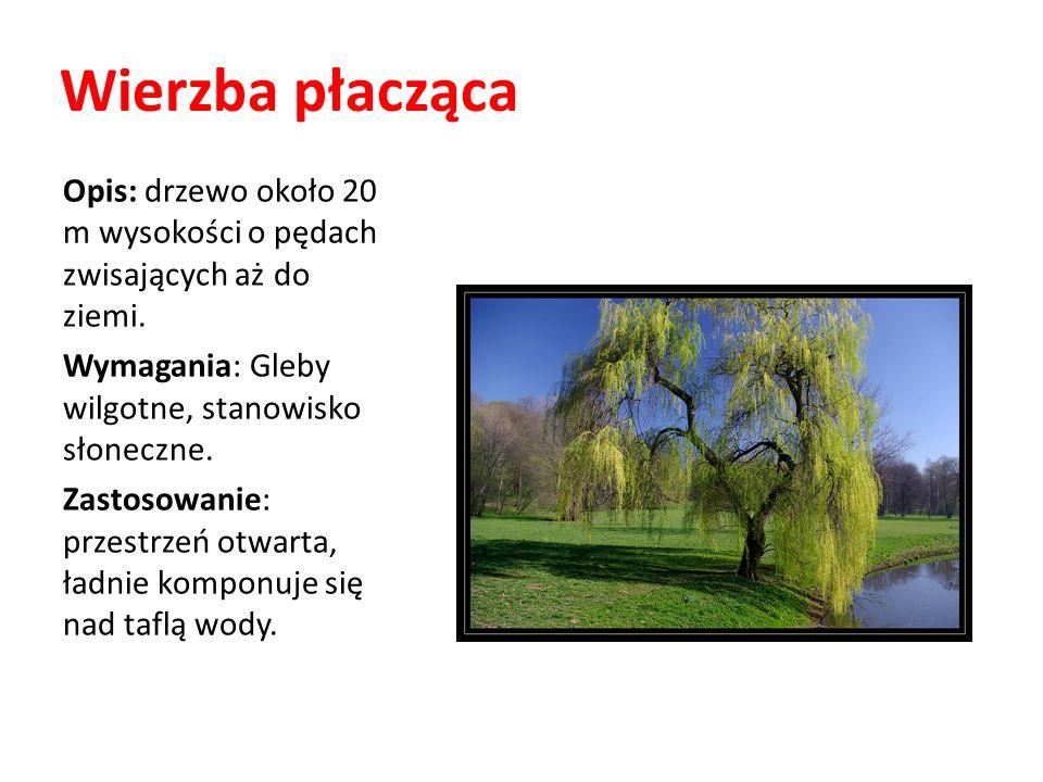 Wierzba płacząca Opis: drzewo około 20 m wysokości o pędach zwisających aż do ziemi. Wymagania: Gleby wilgotne, stanowisko słoneczne.
