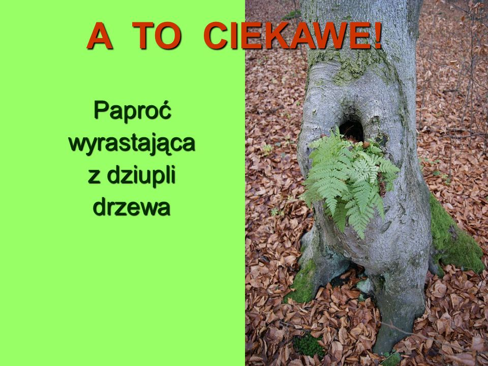 A TO CIEKAWE! Paproć wyrastająca z dziupli drzewa