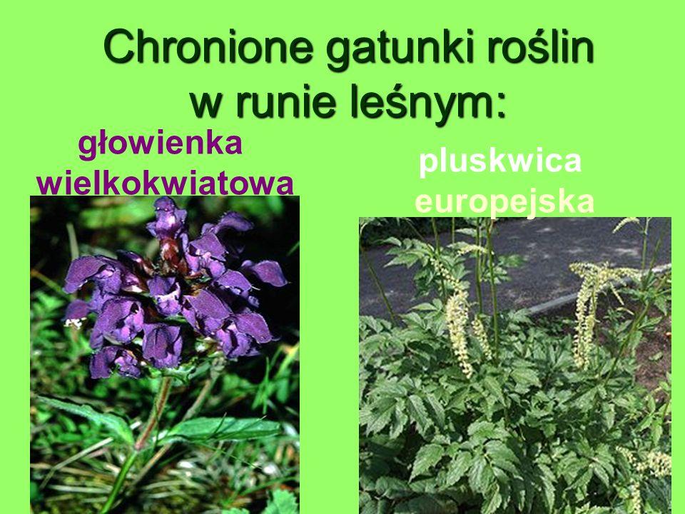Chronione gatunki roślin w runie leśnym: