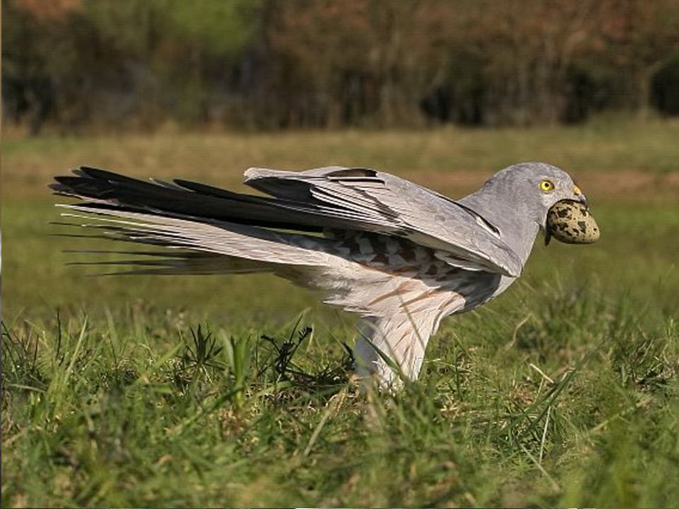 Błotnik łąkowy bardzo nieliczny ptak lęgowy