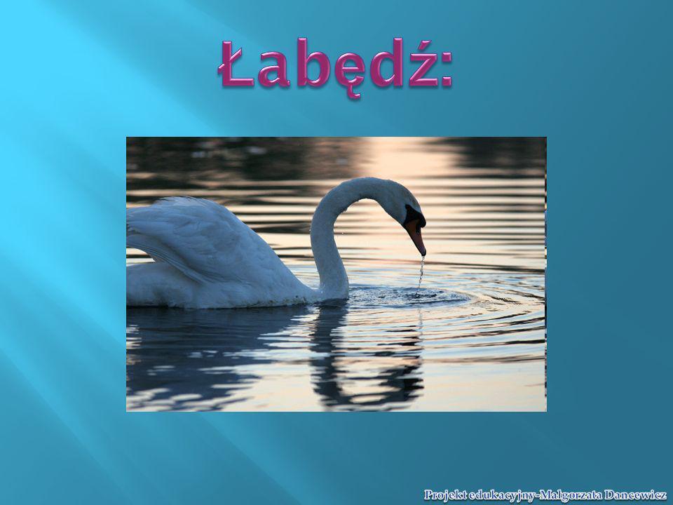 Łabędź:
