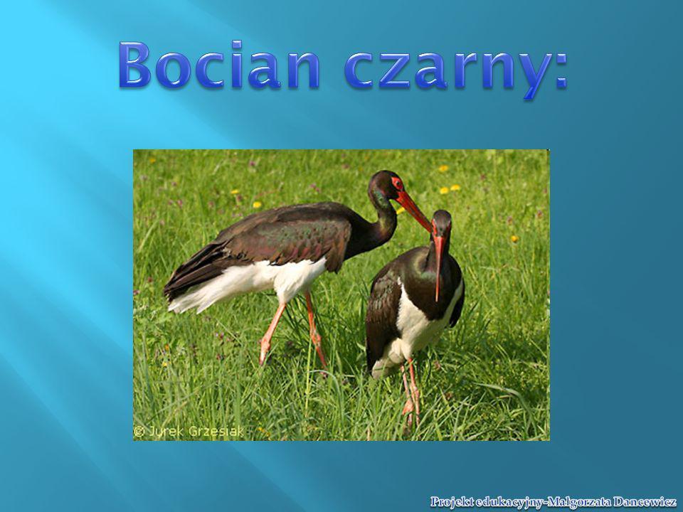 Bocian czarny: