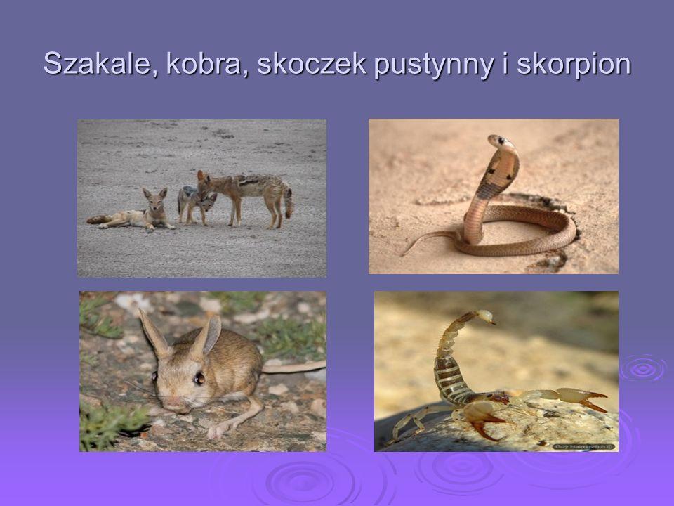 Szakale, kobra, skoczek pustynny i skorpion
