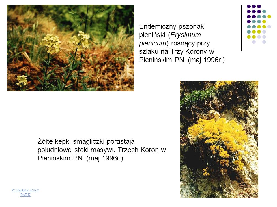 Endemiczny pszonak pieniński (Erysimum pienicum) rosnący przy szlaku na Trzy Korony w Pienińskim PN. (maj 1996r.)