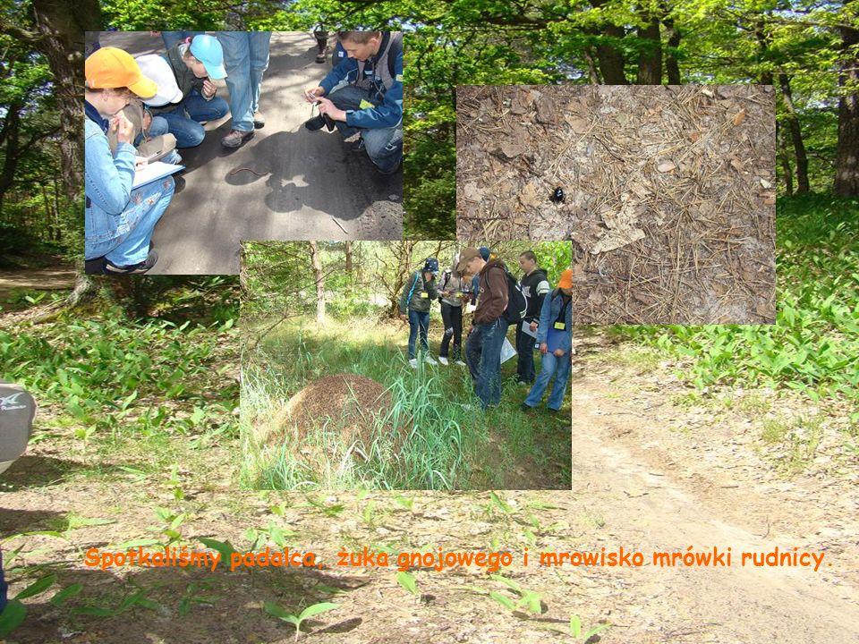 Spotkaliśmy padalca, żuka gnojowego i mrowisko mrówki rudnicy.