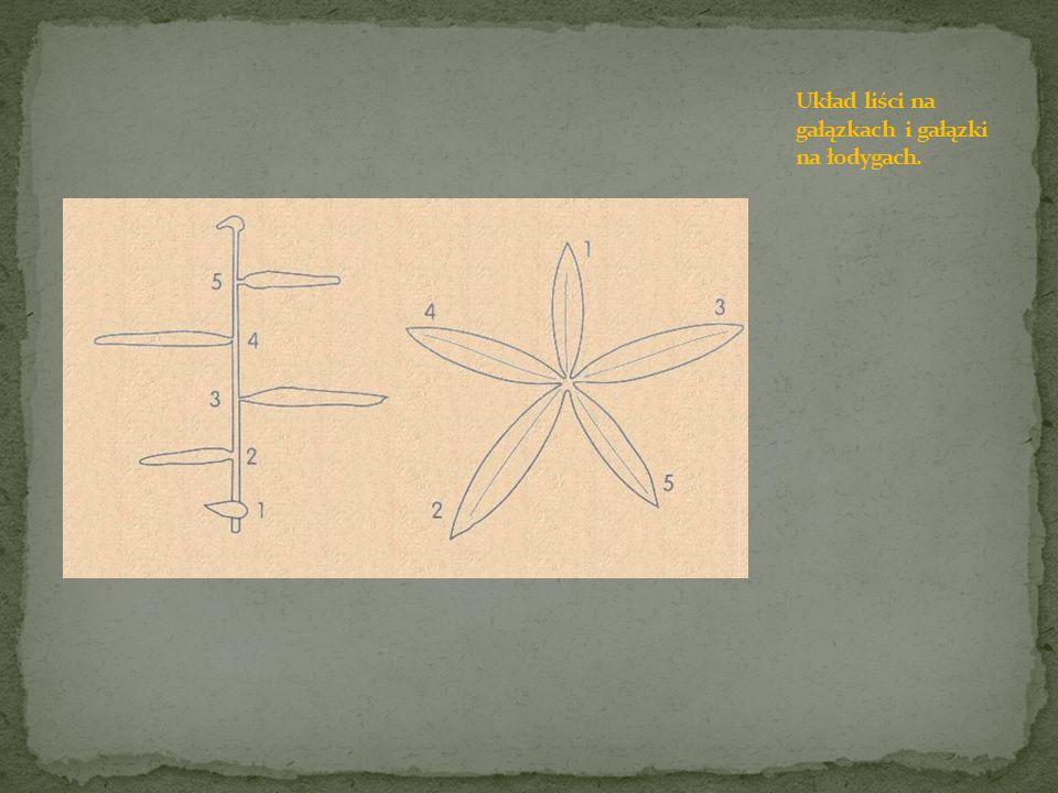 Układ liści na gałązkach i gałązki na łodygach.