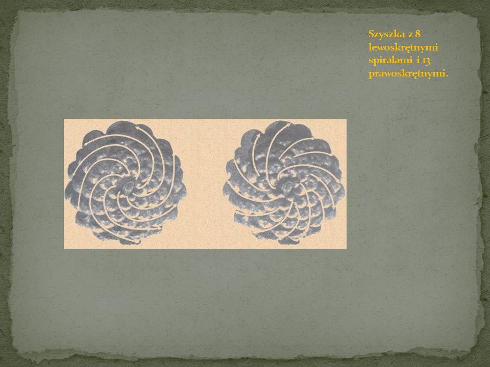 Szyszka z 8 lewoskrętnymi spiralami i 13 prawoskrętnymi.