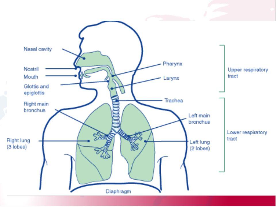 Schematyczny podział na górne i dolne drogi oddechowe