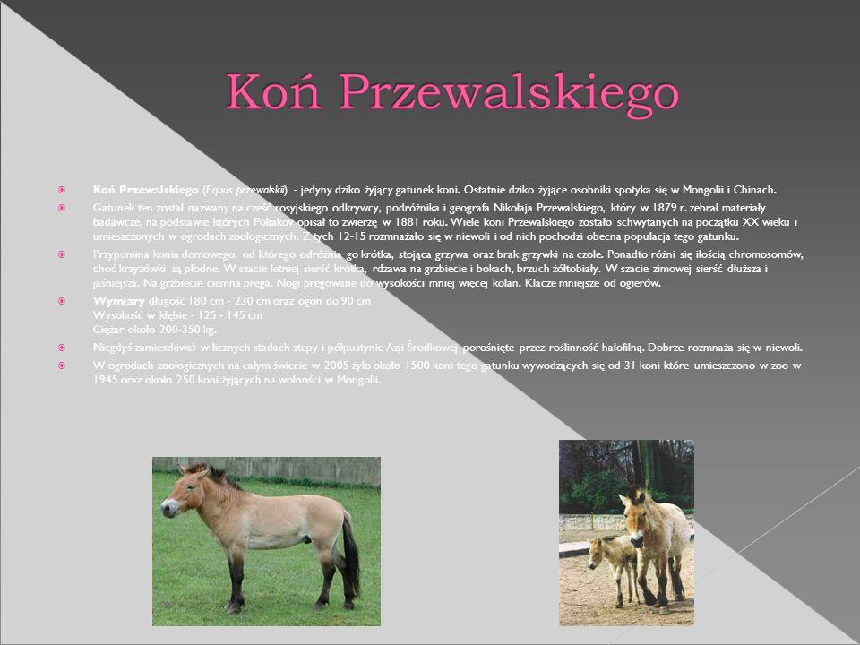 Koń Przewalskiego (Equus przewalskii) - jedyny dziko żyjący gatunek koni. Ostatnie dziko żyjące osobniki spotyka się w Mongolii i Chinach.