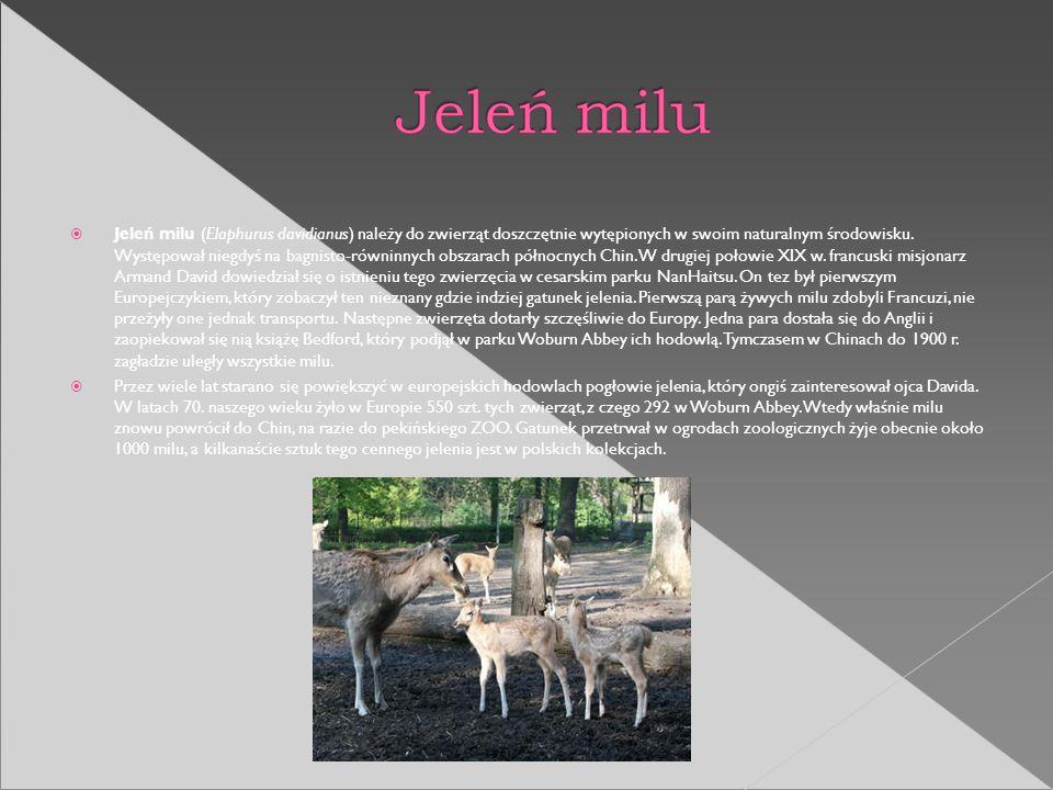 Jeleń milu (Elaphurus davidianus) należy do zwierząt doszczętnie wytępionych w swoim naturalnym środowisku. Występował niegdyś na bagnisto-równinnych obszarach północnych Chin. W drugiej połowie XIX w. francuski misjonarz Armand David dowiedział się o istnieniu tego zwierzęcia w cesarskim parku NanHaitsu. On tez był pierwszym Europejczykiem, który zobaczył ten nieznany gdzie indziej gatunek jelenia. Pierwszą parą żywych milu zdobyli Francuzi, nie przeżyły one jednak transportu. Następne zwierzęta dotarły szczęśliwie do Europy. Jedna para dostała się do Anglii i zaopiekował się nią książę Bedford, który podjął w parku Woburn Abbey ich hodowlą. Tymczasem w Chinach do 1900 r. zagładzie uległy wszystkie milu.