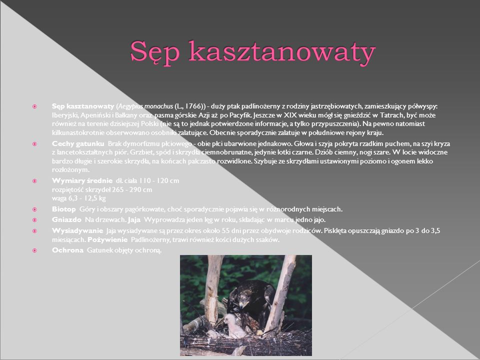 Sęp kasztanowaty (Aegypius monachus (L