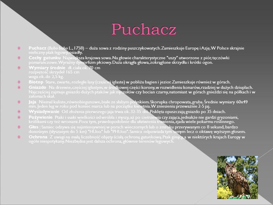 Puchacz (Bubo bubo L. , 1758) – duża sowa z rodziny puszczykowatych