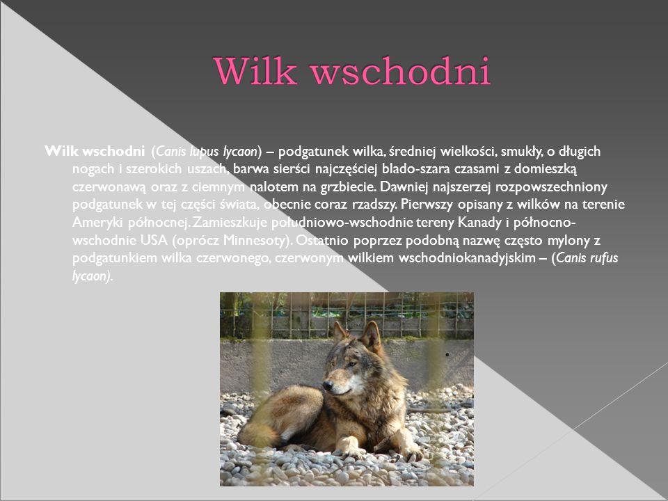 Wilk wschodni (Canis lupus lycaon) – podgatunek wilka, średniej wielkości, smukły, o długich nogach i szerokich uszach, barwa sierści najczęściej blado-szara czasami z domieszką czerwonawą oraz z ciemnym nalotem na grzbiecie.