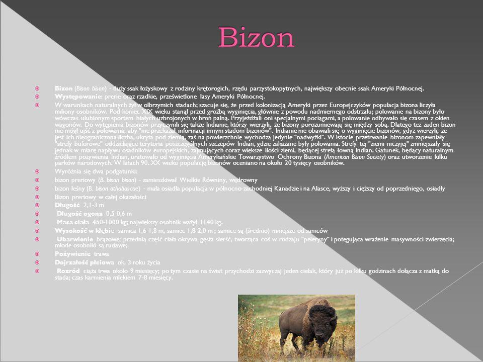 Bizon (Bison bison) - duży ssak łożyskowy z rodziny krętorogich, rzędu parzystokopytnych, największy obecnie ssak Ameryki Północnej.