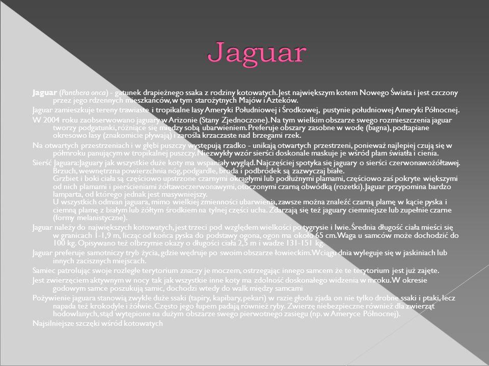 Jaguar (Panthera onca) - gatunek drapieżnego ssaka z rodziny kotowatych. Jest największym kotem Nowego Świata i jest czczony przez jego rdzennych mieszkańców, w tym starożytnych Majów i Azteków.