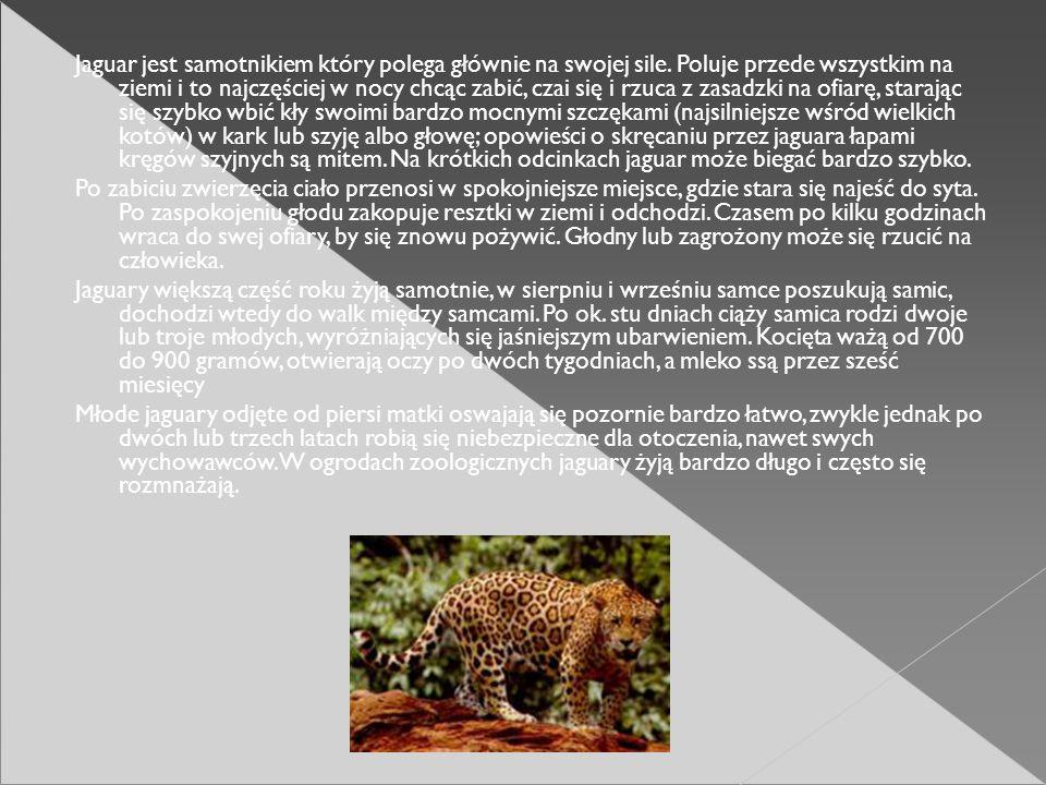 Jaguar jest samotnikiem który polega głównie na swojej sile
