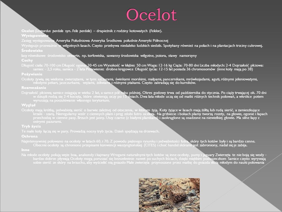 Ocelot (Leopardus pardalis syn