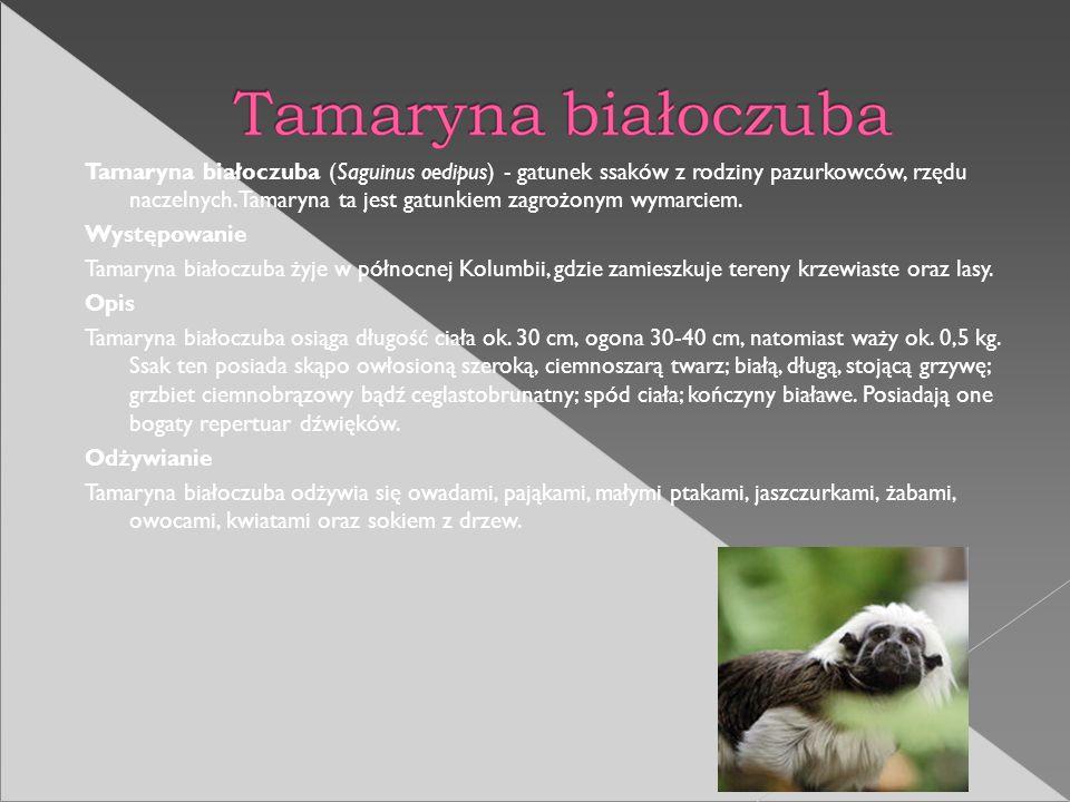 Tamaryna białoczuba (Saguinus oedipus) - gatunek ssaków z rodziny pazurkowców, rzędu naczelnych. Tamaryna ta jest gatunkiem zagrożonym wymarciem.