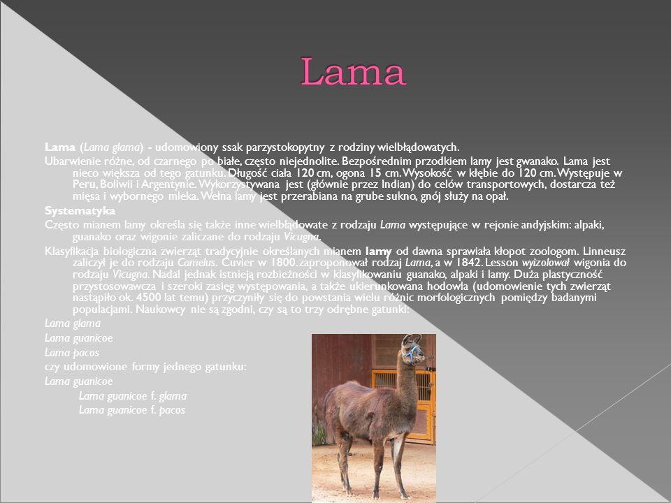 Lama (Lama glama) - udomowiony ssak parzystokopytny z rodziny wielbłądowatych.