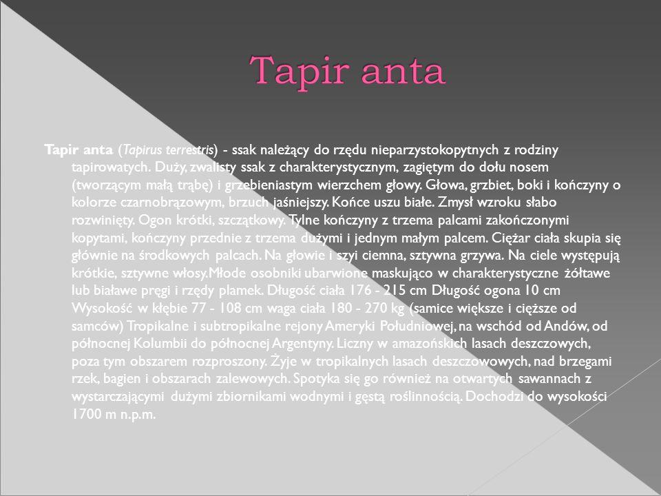 Tapir anta (Tapirus terrestris) - ssak należący do rzędu nieparzystokopytnych z rodziny tapirowatych.