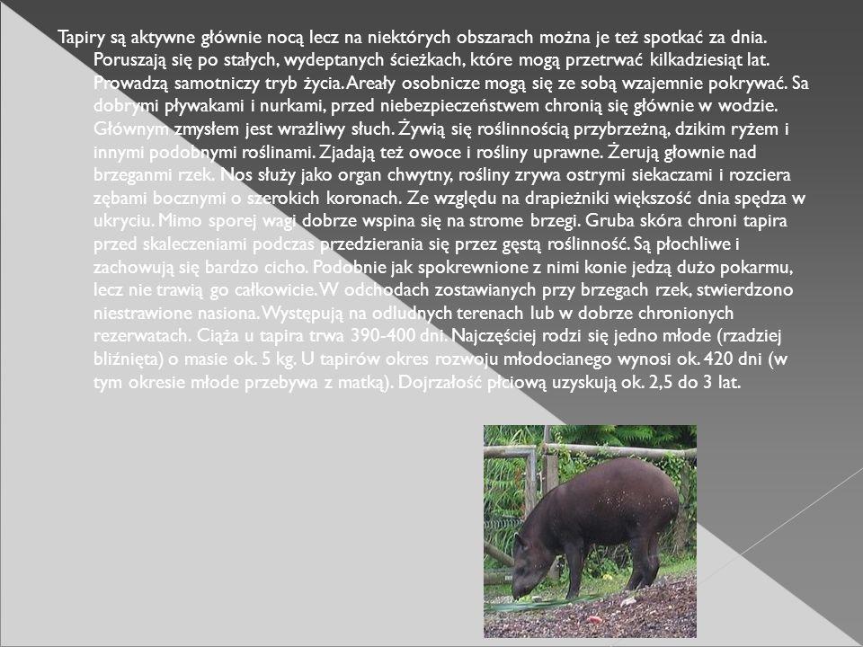 Tapiry są aktywne głównie nocą lecz na niektórych obszarach można je też spotkać za dnia.