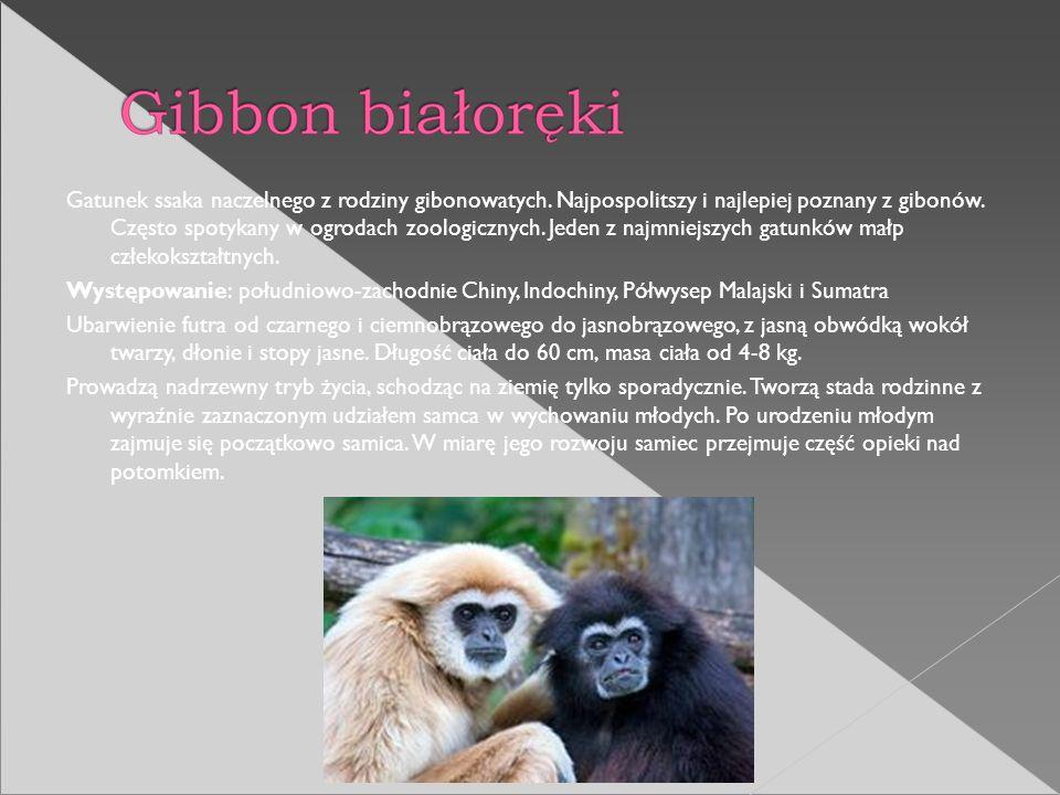 Gatunek ssaka naczelnego z rodziny gibonowatych