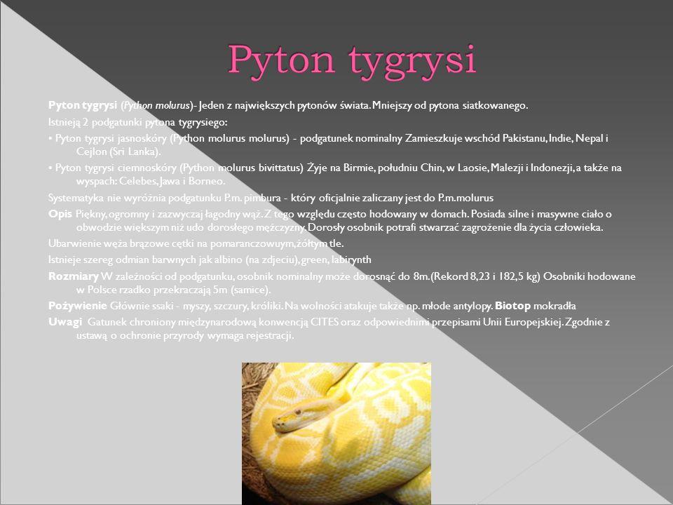 Pyton tygrysi (Python molurus)- Jeden z największych pytonów świata