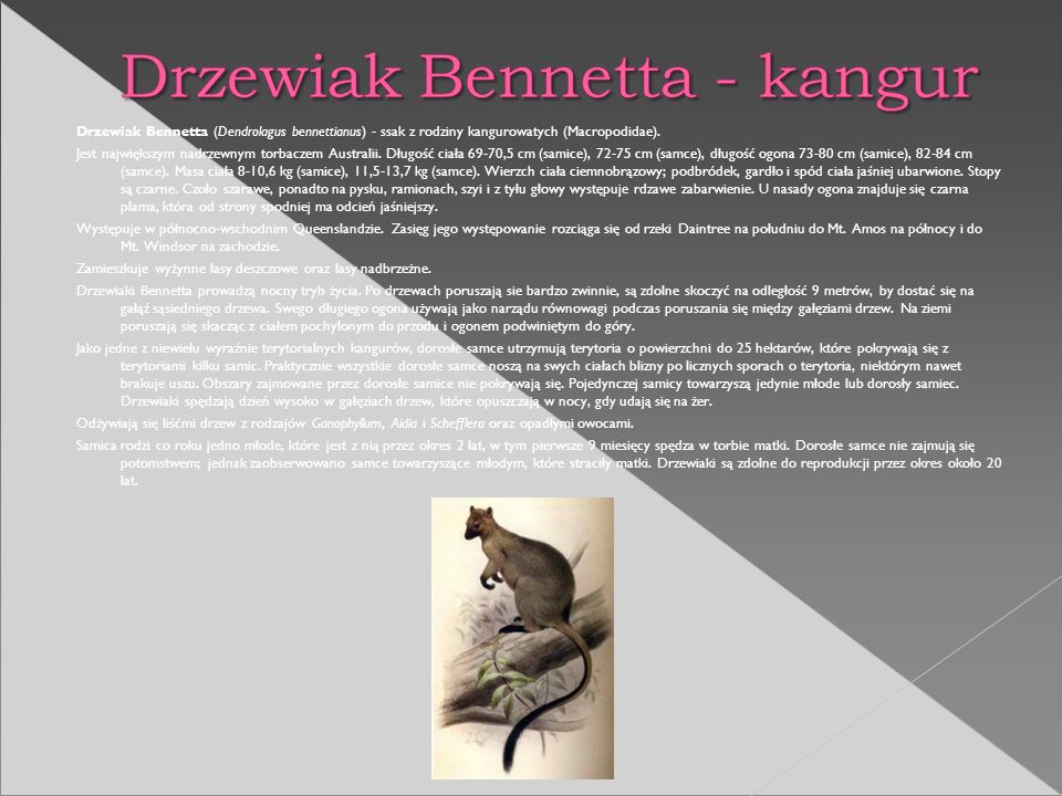 Drzewiak Bennetta (Dendrolagus bennettianus) - ssak z rodziny kangurowatych (Macropodidae).