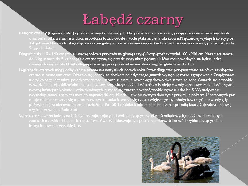 Łabędź czarny (Cygnus atratus) - ptak z rodziny kaczkowatych