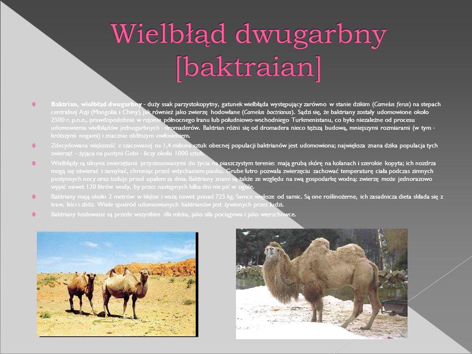 Baktrian, wielbłąd dwugarbny - duży ssak parzystokopytny, gatunek wielbłąda występujący zarówno w stanie dzikim (Camelus ferus) na stepach centralnej Azji (Mongolia i Chiny), jak również jako zwierzę hodowlane (Camelus bactrianus). Sądzi się, że baktriany zostały udomowione około 2500 r. p.n.e., prawdopodobnie w rejonie północnego Iranu lub południowo-wschodniego Turkmenistanu, co było niezależne od procesu udomowienia wielbłądów jednogarbnych - dromaderów. Baktrian różni się od dromadera nieco tęższą budową, mniejszymi rozmiarami (w tym - krótszymi nogami) i znacznie obfitszym owłosieniem.