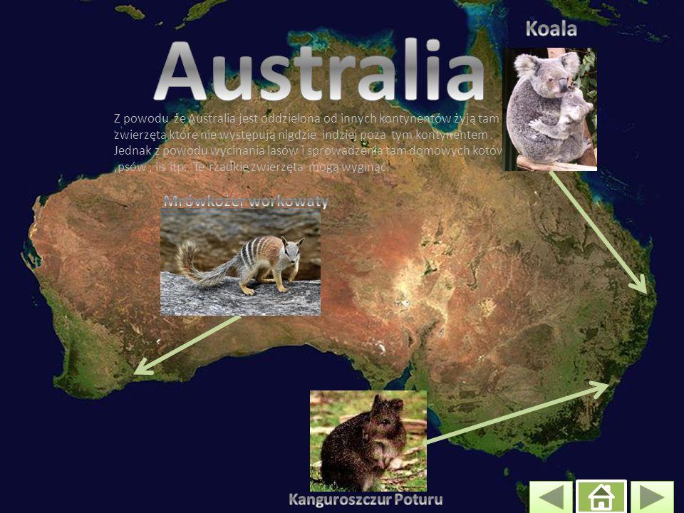 Australia Koala Mrówkożer workowaty Kanguroszczur Poturu