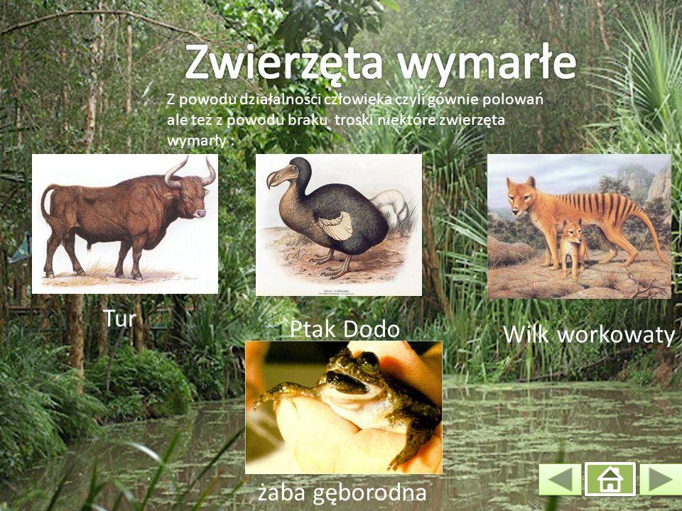 Zwierzęta wymarłe Tur Ptak Dodo Wilk workowaty żaba gęborodna