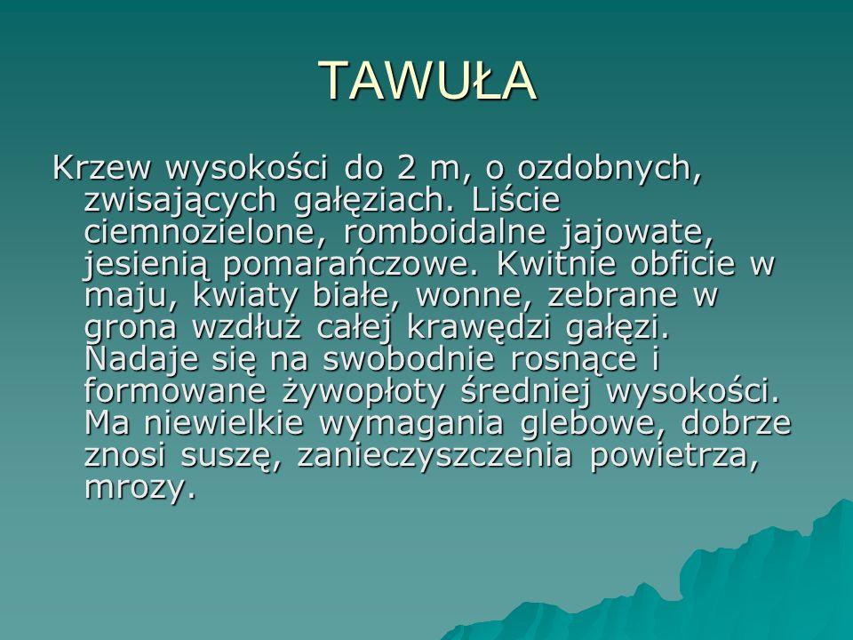 TAWUŁA