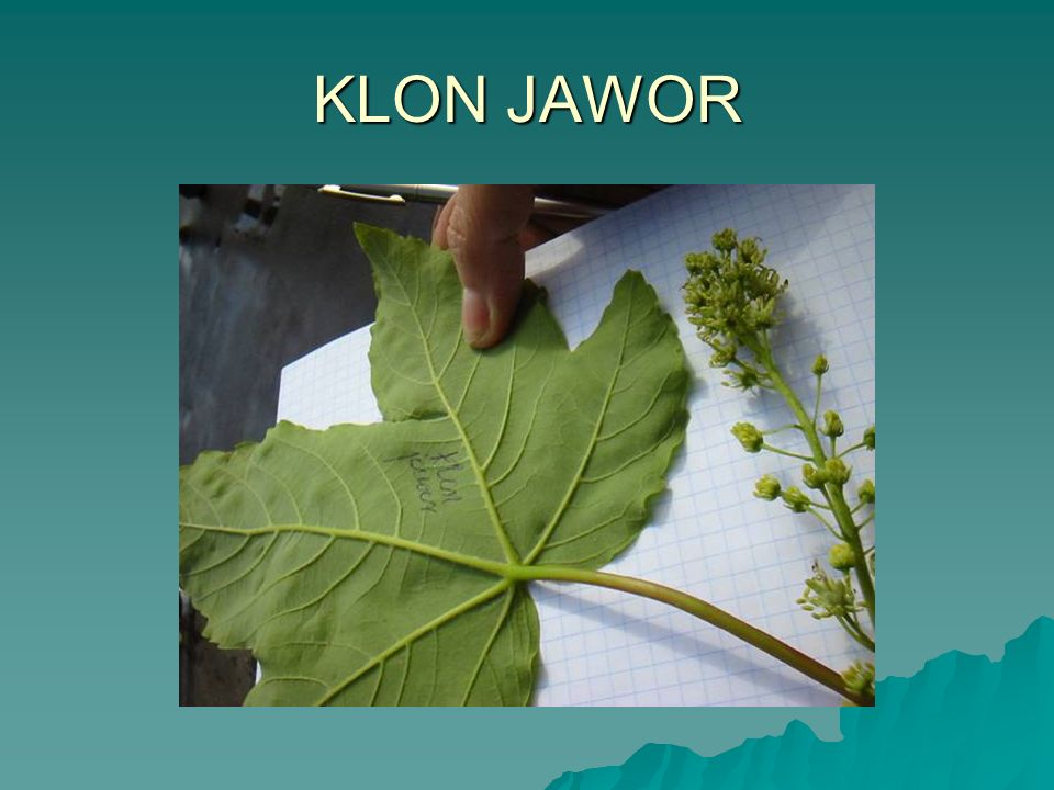 KLON JAWOR