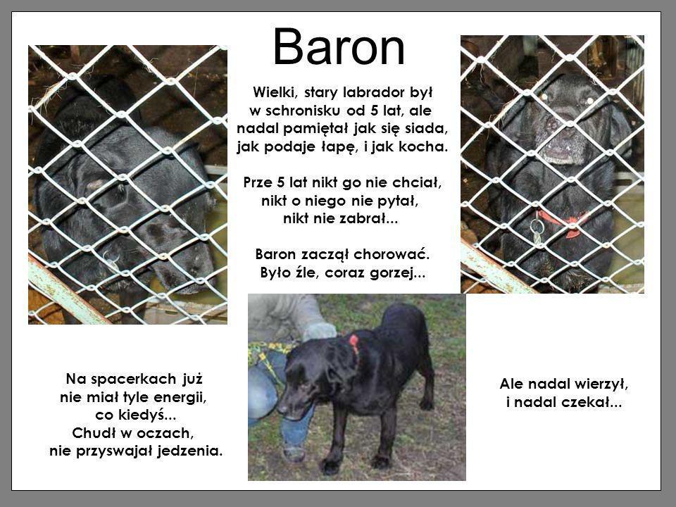 Baron Wielki, stary labrador był w schronisku od 5 lat, ale