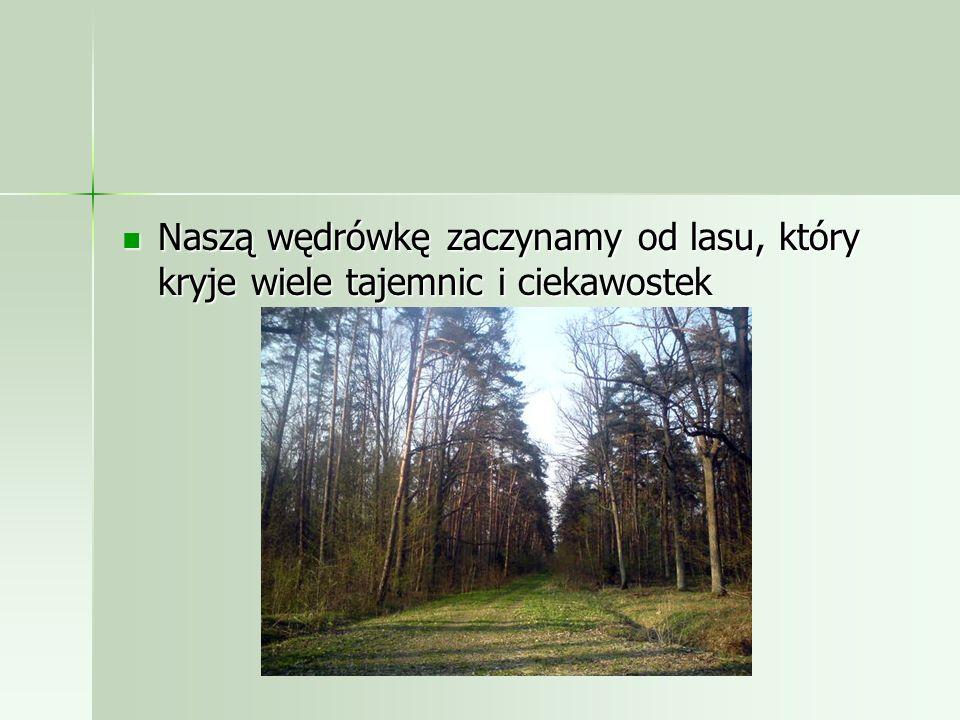 Naszą wędrówkę zaczynamy od lasu, który kryje wiele tajemnic i ciekawostek