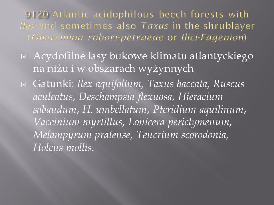 9120 Atlantic acidophilous beech forests with Ilex and sometimes also Taxus in the shrublayer (Quercinion robori-petraeae or Ilici-Fagenion)