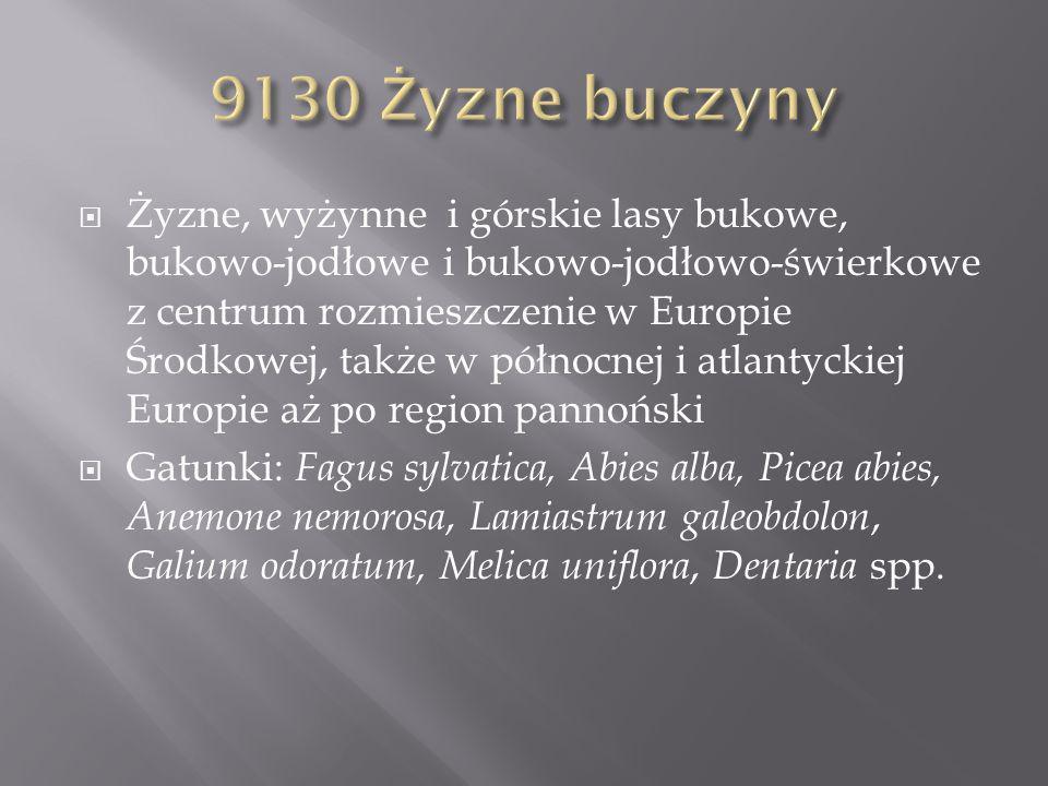 9130 Żyzne buczyny