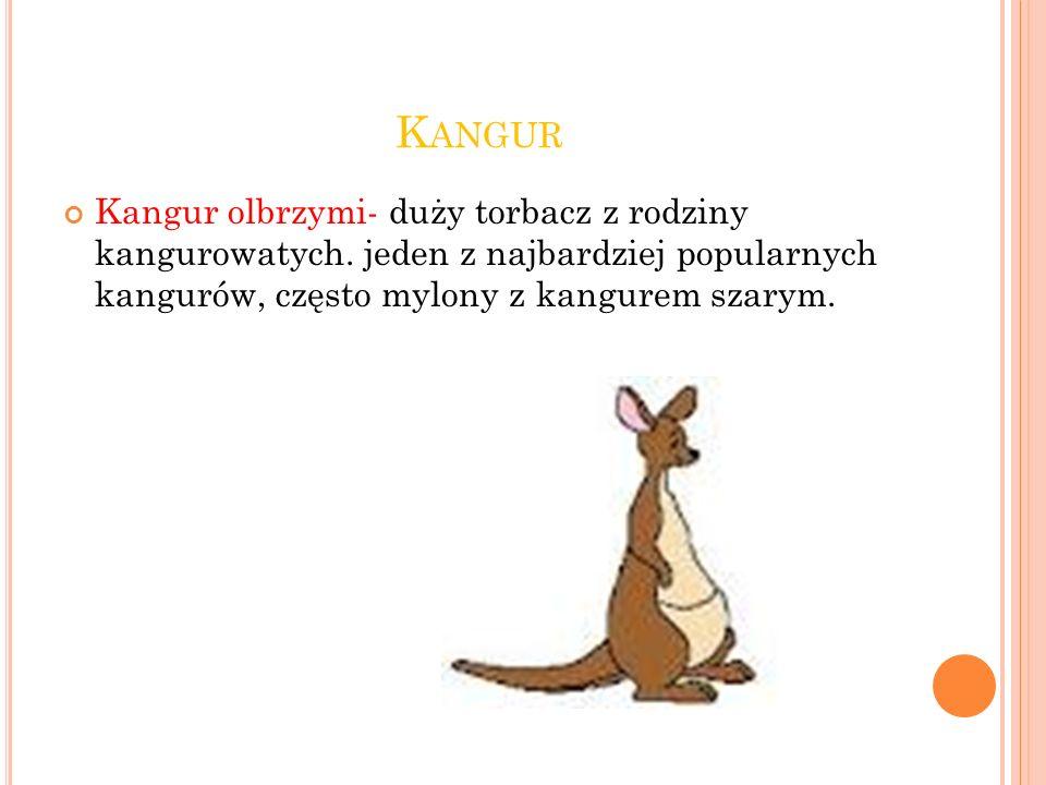 Kangur Kangur olbrzymi- duży torbacz z rodziny kangurowatych.